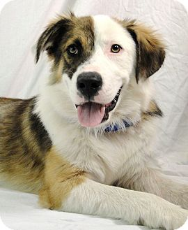 St. Bernard/Great Pyrenees Mix Puppy for adoption in Harper, Texas - Snickers