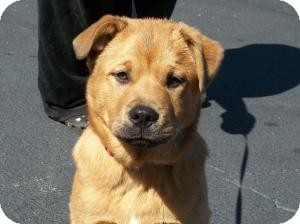 Chow Chow Mix Dog for adoption in Marion, North Carolina - Rod