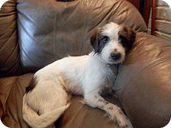 Terrier (Unknown Type, Small)/Schnauzer (Standard) Mix Dog for adoption in Austin, Texas - Adam