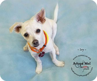Chihuahua Mix Dog for adoption in Phoenix, Arizona - Ivy