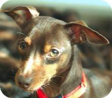 Miniature Pinscher Dog for adoption in Sacramento, California - Crunch