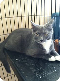 Domestic Shorthair Kitten for adoption in Dedham, Massachusetts - Cheyenne