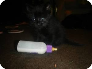 Domestic Shorthair Kitten for adoption in Crown Point, Indiana - Sarabi