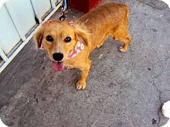 Cocker Spaniel/Terrier (Unknown Type, Medium) Mix Dog for adoption in San Diego, California - Becky