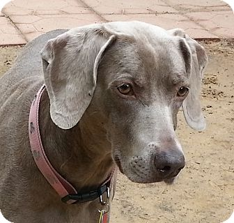 Weimaraner Dog for adoption in Grand Haven, Michigan - Tilly