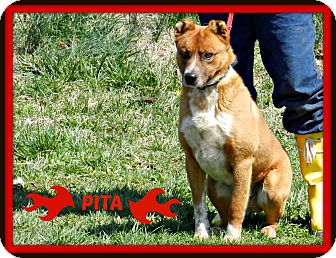 Australian Cattle Dog/Chow Chow Mix Dog for adoption in Lawrenceburg, Tennessee - Pita