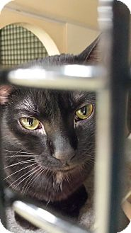 Domestic Shorthair Cat for adoption in Little Falls, New Jersey - Millie (MP)