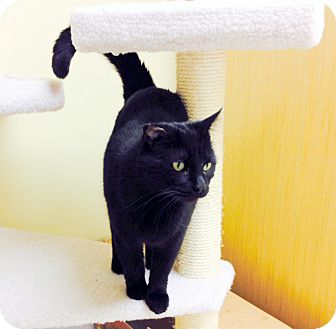 Domestic Shorthair Cat for adoption in Troy, Michigan - Magic