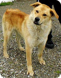 Golden Retriever Mix Dog for adoption in Washington Court House, Ohio - Scooter