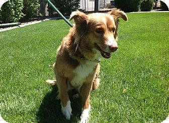 Australian Shepherd/Border Collie Mix Dog for adoption in Gardnerville, Nevada - Skylar