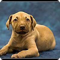 Adopt A Pet :: Jo Jo - Wickenburg, AZ