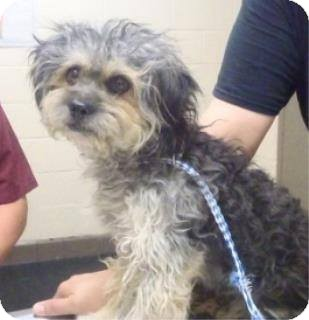 Poodle (Miniature) Mix Dog for adoption in Las Vegas, Nevada - Finn