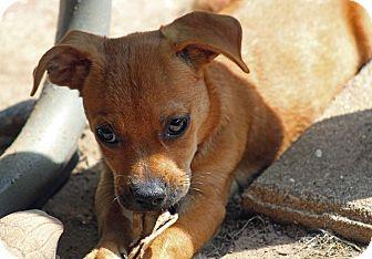 Pug/Chihuahua Mix Puppy for adoption in berwick, Maine - Mac
