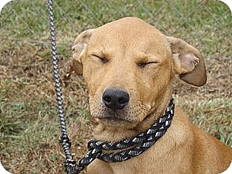 Labrador Retriever Mix Puppy for adoption in Laingsburg, Michigan - Sandra