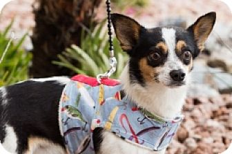 Chihuahua/Terrier (Unknown Type, Medium) Mix Dog for adoption in Mesa, Arizona - Danny