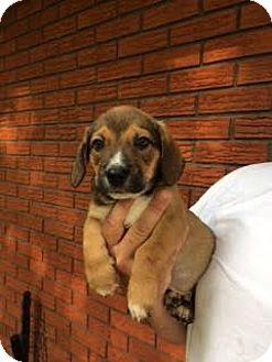 Hound (Unknown Type) Mix Puppy for adoption in ST LOUIS, Missouri - Goliath