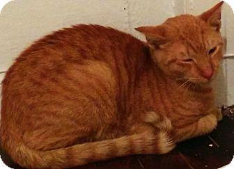 Domestic Shorthair Cat for adoption in New york, New York - Harris