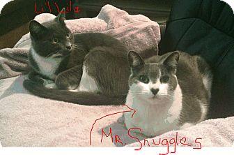 Domestic Shorthair Cat for adoption in El Dorado Hills, California - Mr. Snuggles