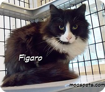 Domestic Longhair Cat for adoption in Danielsville, Georgia - Figaro