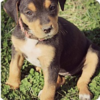 Adopt A Pet :: Rey - Fredericksburg, VA
