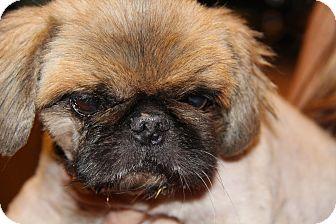 Pekingese Mix Dog for adoption in Phoenix, Arizona - Peanut