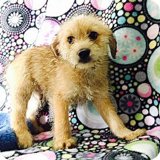 Schnauzer (Miniature) Mix Puppy for adoption in Lonedell, Missouri - Max