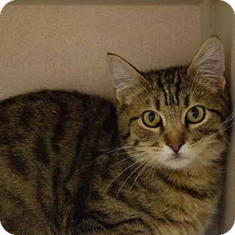 Domestic Shorthair Cat for adoption in Denver, Colorado - Charlie