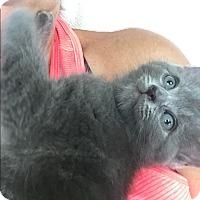 Adopt A Pet :: Stitch - Sterling Hgts, MI