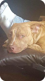 Shepherd (Unknown Type)/Terrier (Unknown Type, Small) Mix Dog for adoption in Jerseyville, Illinois - Azizi