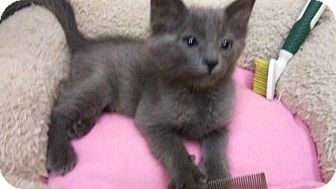Domestic Shorthair Kitten for adoption in Palm Springs, California - Tommy Tickles