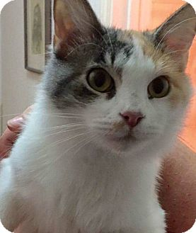 Calico Cat for adoption in Mansfield, Texas - Nike
