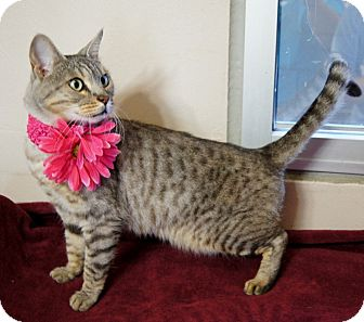 Domestic Shorthair Cat for adoption in Plano, Texas - SABLE - EXOTIC LAP KITTY!