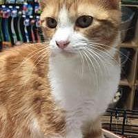 Domestic Mediumhair Cat for adoption in McKinney, Texas - Aerosmith