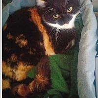 Calico Cat for adoption in Calimesa, California - Anna