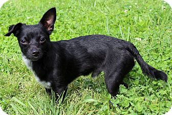 Chihuahua Mix Dog for adoption in Waldorf, Maryland - Sparkles