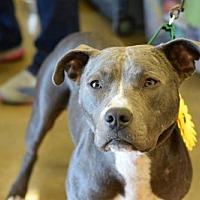 American Pit Bull Terrier Dog for adoption in Munford, Tennessee - Dakota