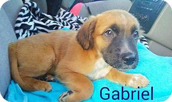 Cattle Dog/Beagle Mix Puppy for adoption in St Louis, Missouri - Gabriel