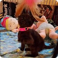 Adopt A Pet :: Cinderella - Geneseo, IL