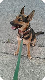 German Shepherd Dog/Border Collie Mix Dog for adoption in Selma, Texas - Collins