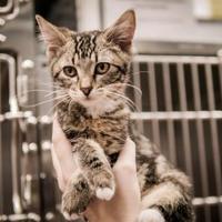 Domestic Shorthair/Domestic Shorthair Mix Cat for adoption in Wichita, Kansas - Dakota