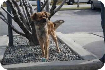 Terrier (Unknown Type, Small)/Pekingese Mix Dog for adoption in California City, California - Teeko