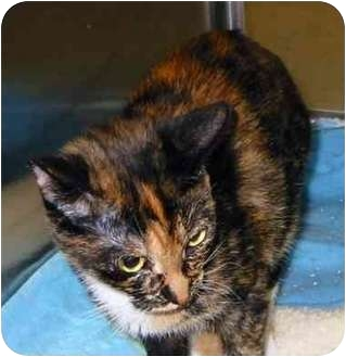 Domestic Shorthair Cat for adoption in San Diego/North County, California - Missy