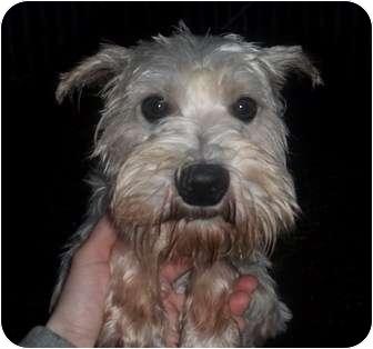 Schnauzer (Miniature) Dog for adoption in Oak Ridge, New Jersey - Qwerty