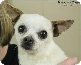 Chihuahua Dog for adoption in Hastings, Nebraska - Dexter