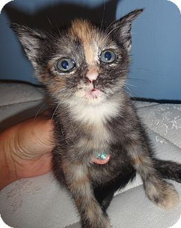 Calico Kitten for adoption in Parkton, North Carolina - Whiz