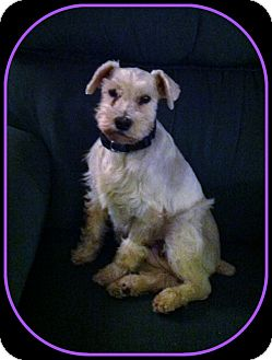 Schnauzer (Miniature)/Westie, West Highland White Terrier Mix Dog for adoption in Indian Trail, North Carolina - Daisy May