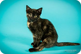 Domestic Shorthair Kitten for adoption in St. Louis, Missouri - Sundari