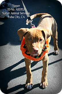 American Pit Bull Terrier Mix Puppy for adoption in Yuba City, California - 10/11 Tipper