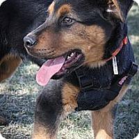 Adopt A Pet :: Pavorotti - Broomfield, CO