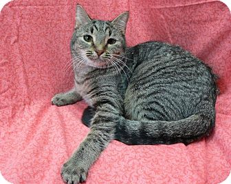 Maine Coon Kitten for adoption in Asheboro, North Carolina - Jill